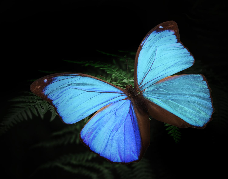 モルフォ蝶。南米に生息する大型の蝶で、鱗粉の特殊な形状による光の反射で羽が青に発色する。「世界で一番美しい蝶」とも呼ばれる